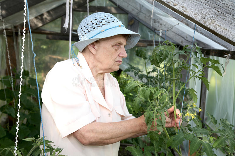 The old woman in a hothouse at bushes stock photo