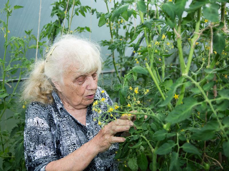 The old woman in a hothouse at bushes. Of Tomatoes royalty free stock photos