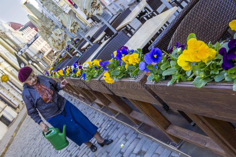 Old woman looks after the flowers. ESTONIA, TALLINN-MAY, 2013: An elderly lady is showering flowers in an open cafe on an old paved pedestrian street stock image