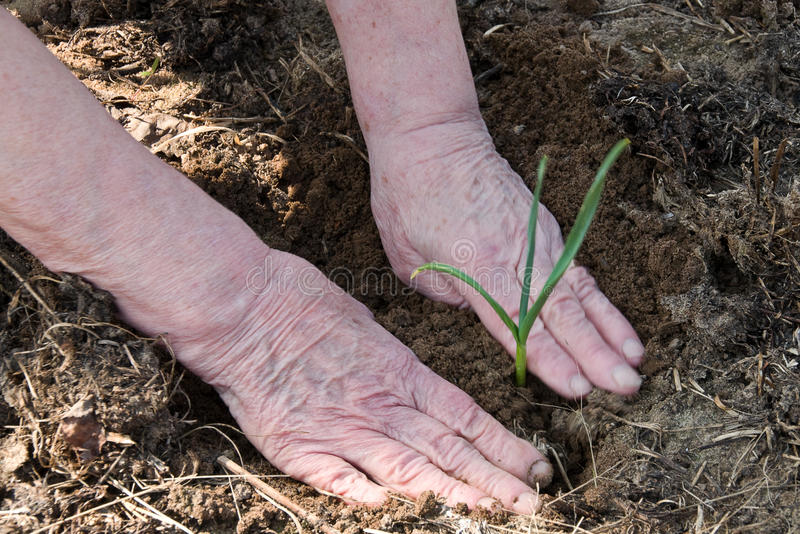 Old woman's hands guard the young green plant. Mature hands taking care of green shoots stock photo