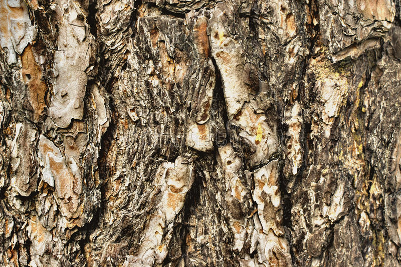 Old wood bark texture or background. Pine tree. stock images