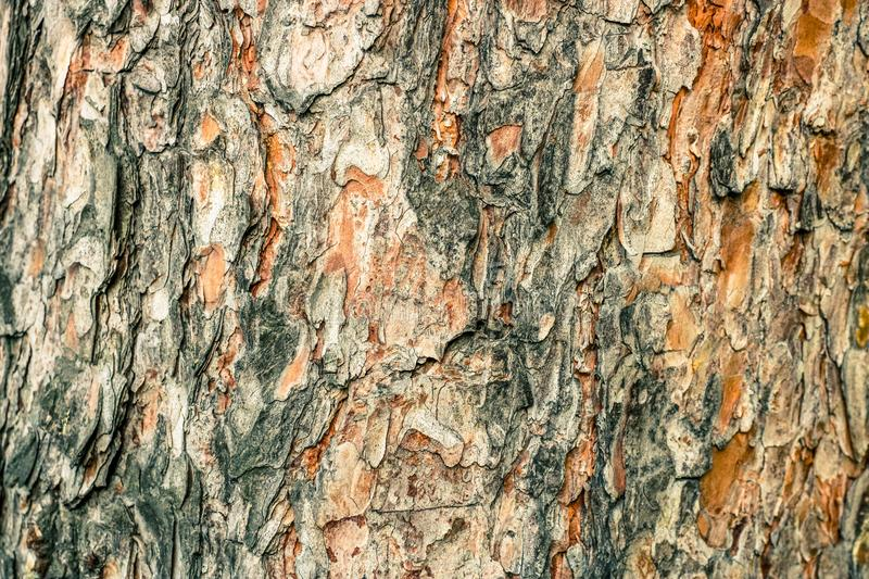 Old pine bark texture. Natural background fo design. royalty free stock images