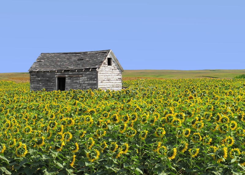 Old wood shack in sunflower field. Old, weathered, and run down wooden shack sitting in a field crop of sunflowers in the mid-west prairies, with a blue sky in stock images