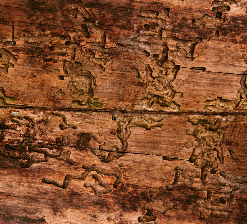 Old wood texture, aged background by bark beetle stock photography
