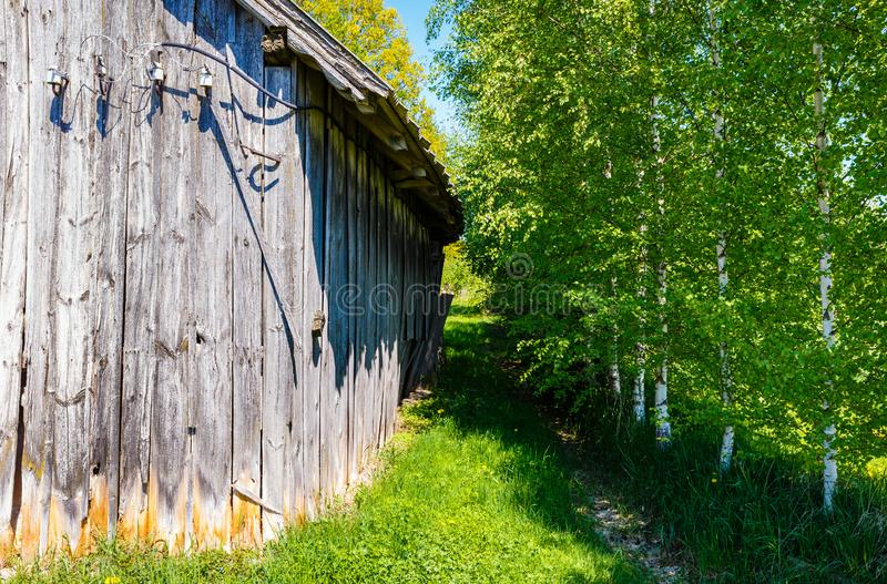 Old wooden barn with gray boards. That are naturally obsolete under the influence of the atmosphere; in the queue, birches are drawn next to the barn stock photo