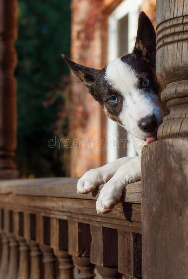 Puppy of a bull terrier dog with blue eyes against the background of a beautiful house. Selective focus. stock photo