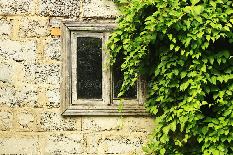 Old wooden window framed by green leaves stock images
