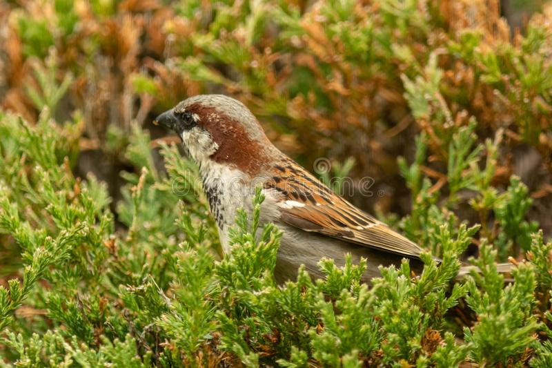 An Old World Sparrow sits on a pine bush. Looking for food stock images