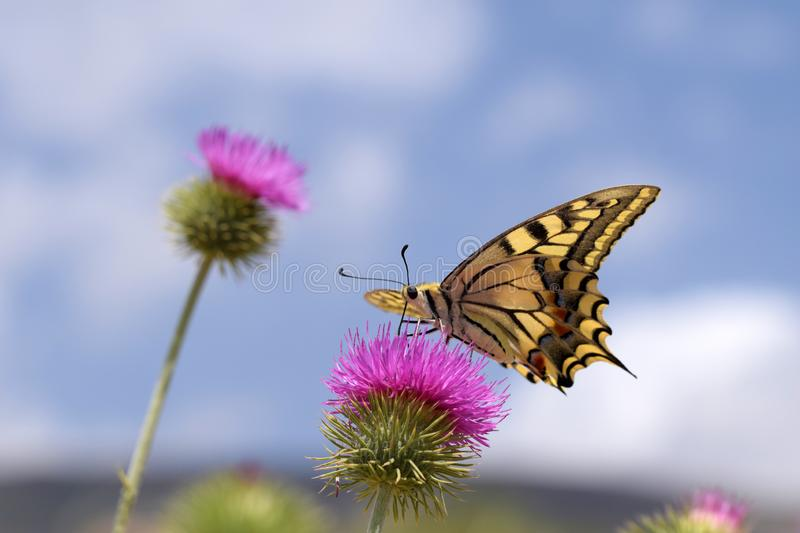 The Old World swallowtail butterfly or Papilio machaon. The close up ventral view of Papilio machaon  nectaring on thorn flower with blue sky background. Family royalty free stock image