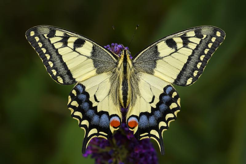 Old World Swallowtail butterfly - Papilio machaon royalty free stock photo