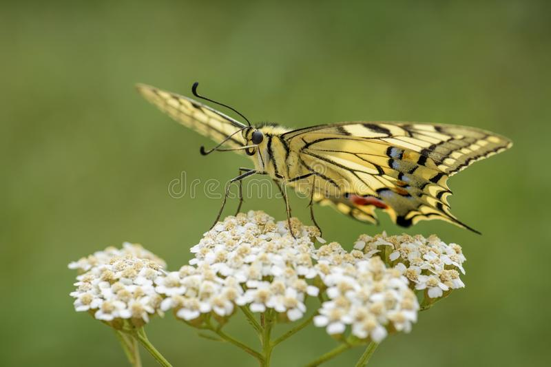 Old World Swallowtail butterfly - Papilio machaon. Beautiful colored iconic butterfly from European meadows and grasslands royalty free stock photo