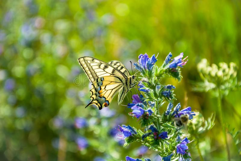 Old World swallowtail butterfly perched on blue flowers. In sunny day stock photo