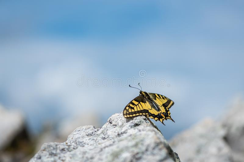 An Old World swallowtail butterfly resting on a stone. An Old World swallowtail butterfly Papilio machaon, Papilionidae resting on a stone on top of a mountain royalty free stock photo