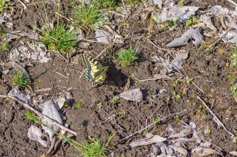 Old World Swallowtail Papilio machaon butterfly located on spring ground stock image