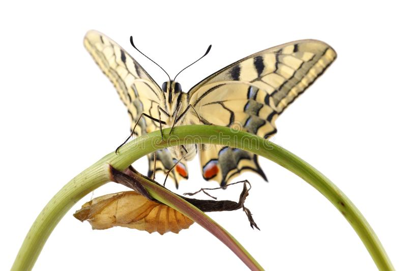Old World Swallowtail Papilio machaon butterfly perched on a branch next to the cocoon from which they hatched. All on a white background royalty free stock photos