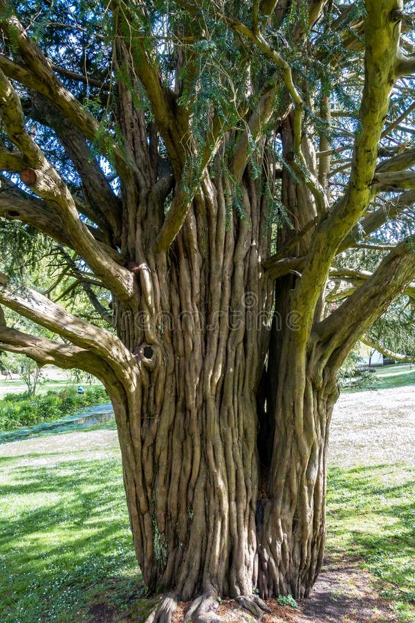 Free Old Yew Tree Growing At St Fagans National Museum Of History In Cardiff On April 27, 2019 Royalty Free Stock Photo - 146653915