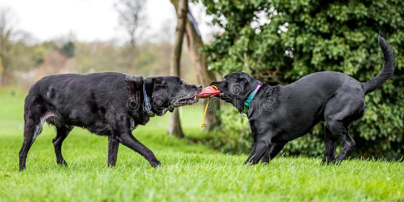 Old and Young Black Labradors playing tug of war with a bean bag. A black dog in a park, countryside meadow or field of grass. green background. clear eyes stock photography