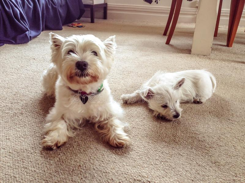 Old and young: senior west highland terrier dog with westie puppy indoors in house with carpet. Old and young: senior west highland terrier dog with westie puppy stock photo