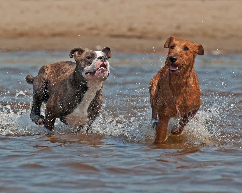 Olde Angielski buldog i Irlandzkiego Terrier bawi? si? zdjęcie stock