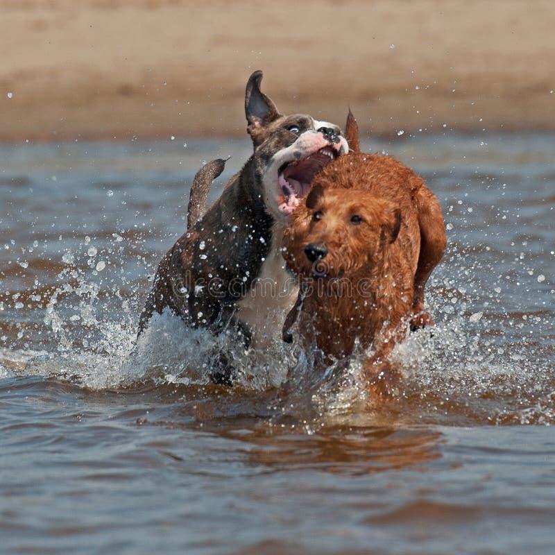 Olde Angielski buldog i Irlandzkiego Terrier bawi? si? zdjęcia royalty free