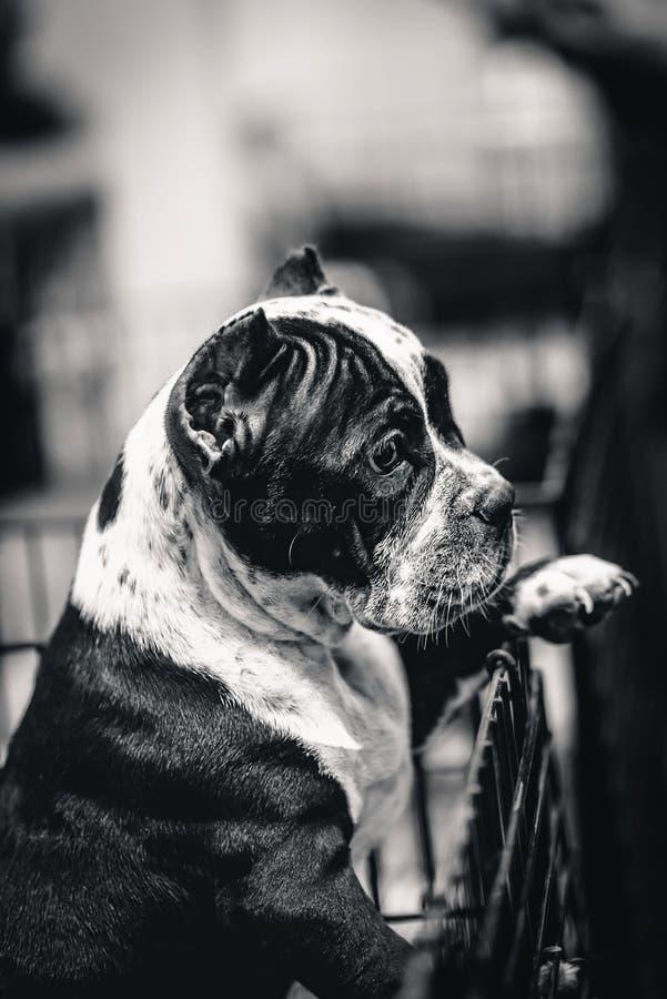 Olde Angielski Bulldogge jest prześladowanym szukać z przykrością przegranego przyjaciela, czarny i biały wizerunek fotografia royalty free