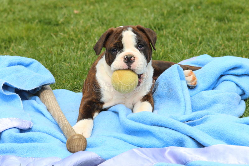 Olde Bulldogge Angielski szczeniak z piłką i kijem bejsbolowym zdjęcie stock