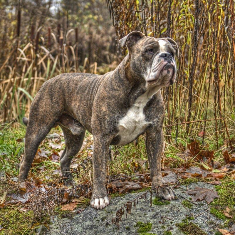 Olde engelsk bulldogg i HDR fotografering för bildbyråer