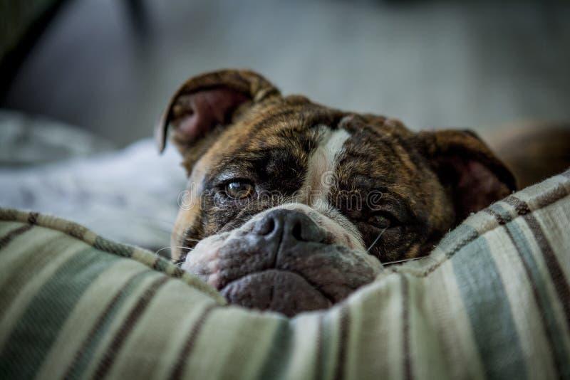 Olde engelska Bulldogge på kudden royaltyfria foton