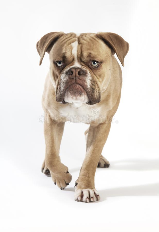 Olde english bulldog from the front royalty free stock images