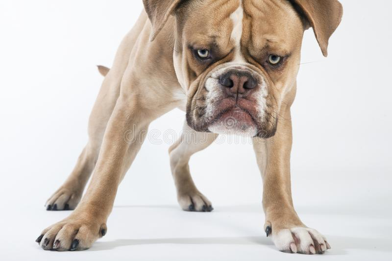 Olde english bulldog looks to the camera royalty free stock photography