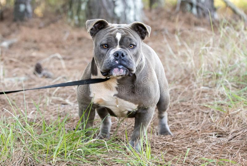 Olde English Bulldog outside on leash royalty free stock photography