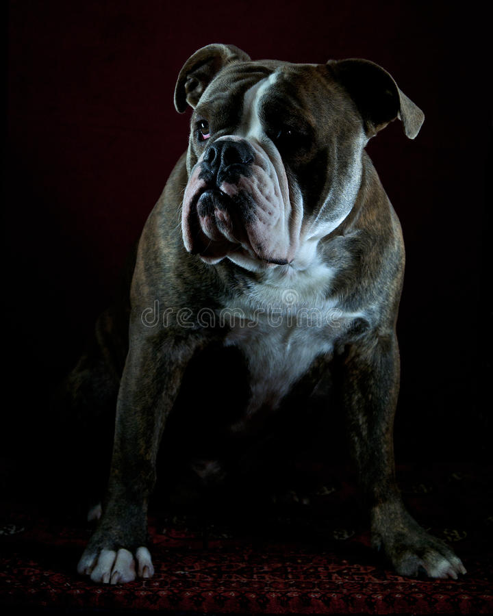 Olde English Bulldog portrait stock image
