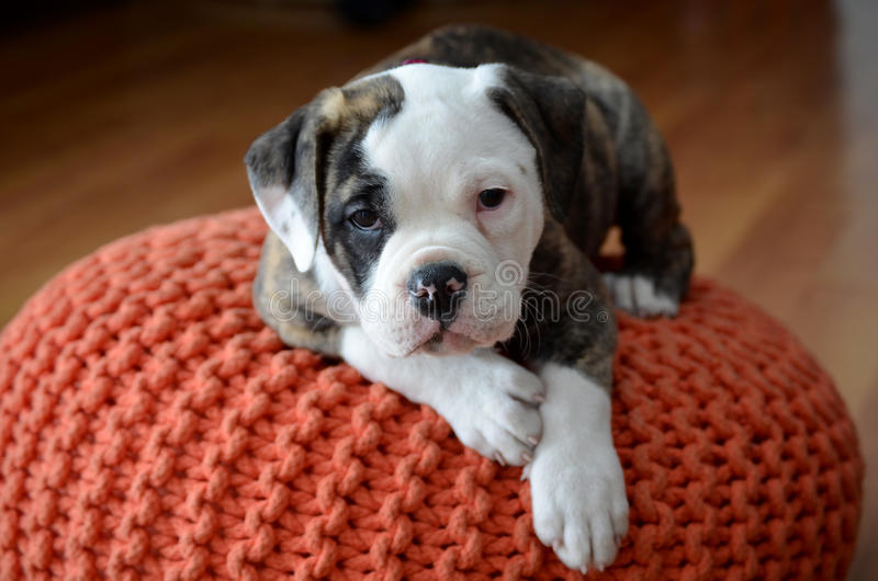 Download Olde English Bulldog Puppy Stock Photo - Image: 38783988