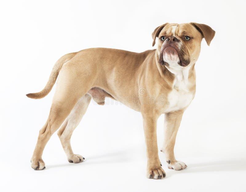 Olde english bulldog standing royalty free stock photography