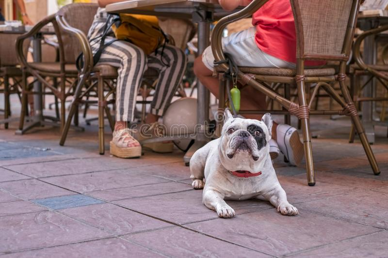 An Olde English Bulldogge to a coffee stock images