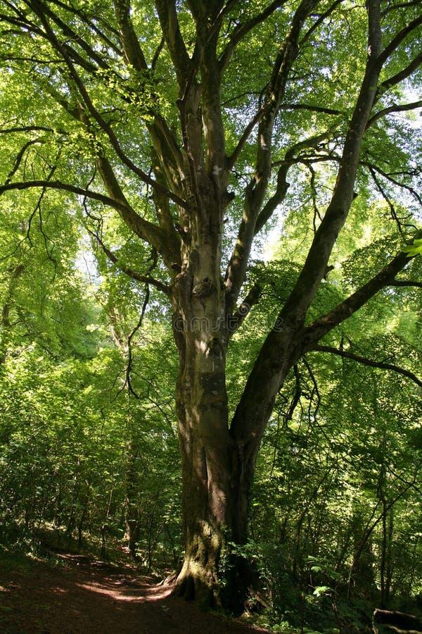Olde Tree stock image