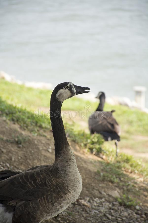 Senior goose royalty free stock image