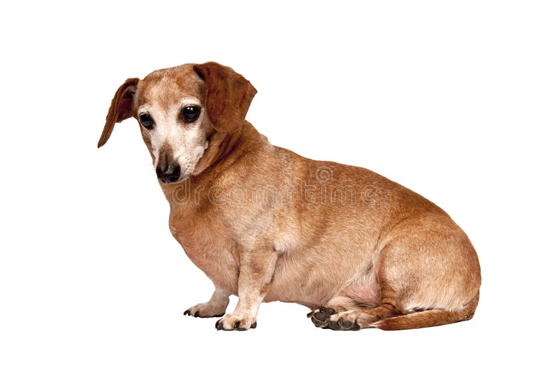 Download Older Canine Sitting stock image. Image of white, isolated - 23693505