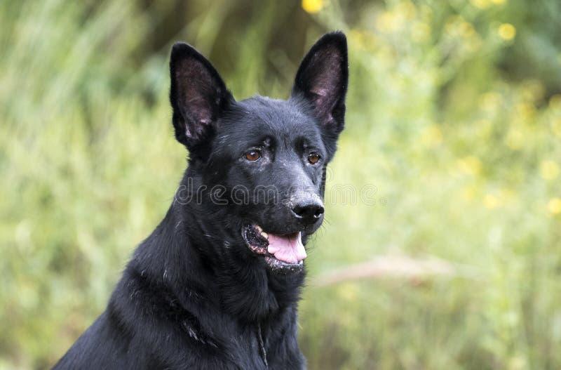 Senior Black German Shepherd Dog royalty free stock photography
