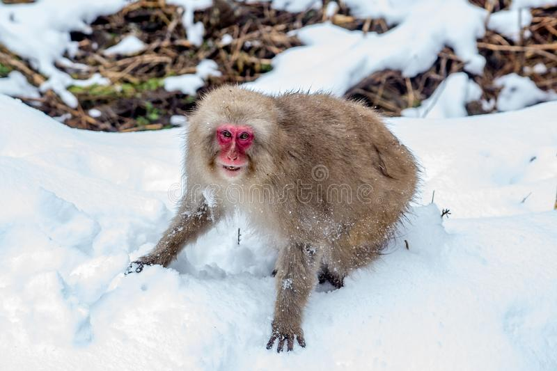 Angry adult snow monkey after a fight. An older Japanese Macaque, or snow monkey, snarls at another monkey after a brief fight. These monkeys are the northern stock image