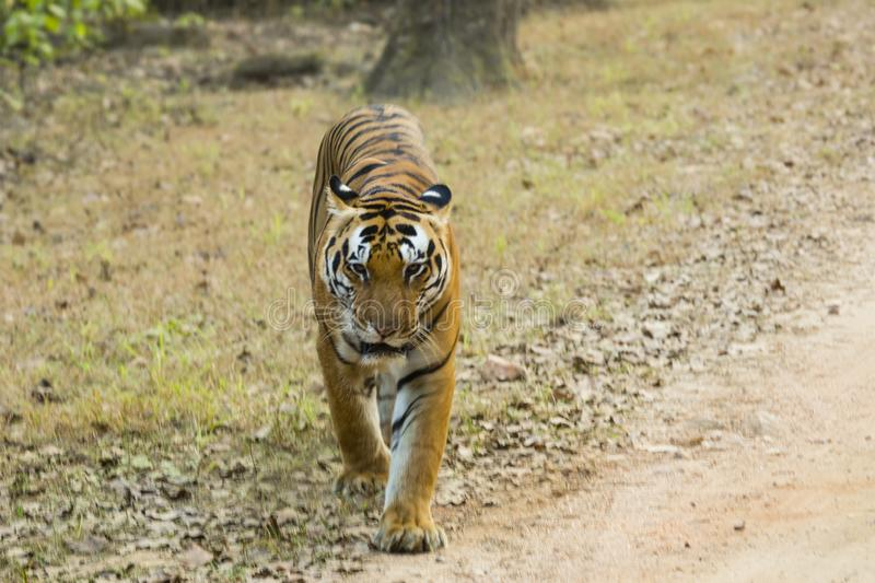 Older Male Tiger on the Move. A big male adult tiger with rich orange black and white markings on the move crossing some grass and leaves stock photos