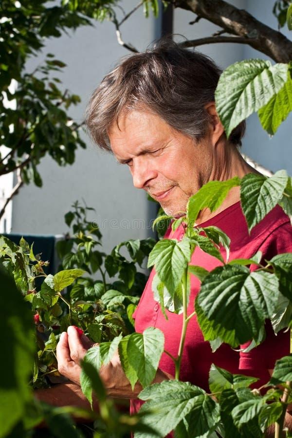 Older man is picking in his garden raspberries. Older man is picking raspberries stock images