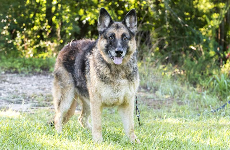 Senior German Shepherd Dog outside on leash stock images