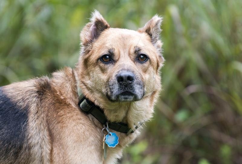 Shepherd mix dog with collar and rabies ID tags. Older not neutered male Shepherd Chow dog with cropped ears outdoors on leash. Dog rescue adoption photography stock photos