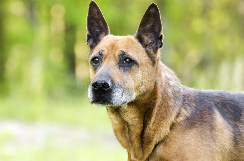 Older red Shepherd mix breed dog, pet rescue adoption photo. Senior reddish brown Shepherd mixed breed dog on leash outdoors. Grey muzzle, erect ears like a stock photos