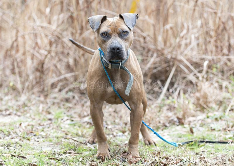 Bulldog outside with blue collar and leash. Older senior tan mixed breed Pitbull dog outside on leash. Pet rescue dog adoption photography for animal control stock image