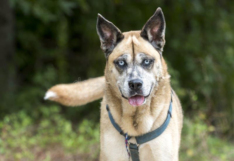 Older Shepherd Husky mix dog with blue eyes and harness animal shelter adoption photo royalty free stock photo