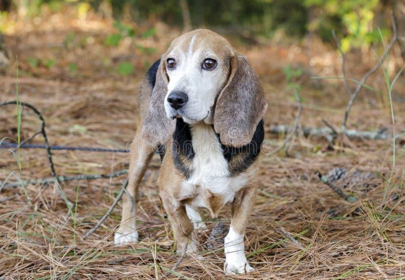 Senior Beagle rabbit hunting dog royalty free stock photos