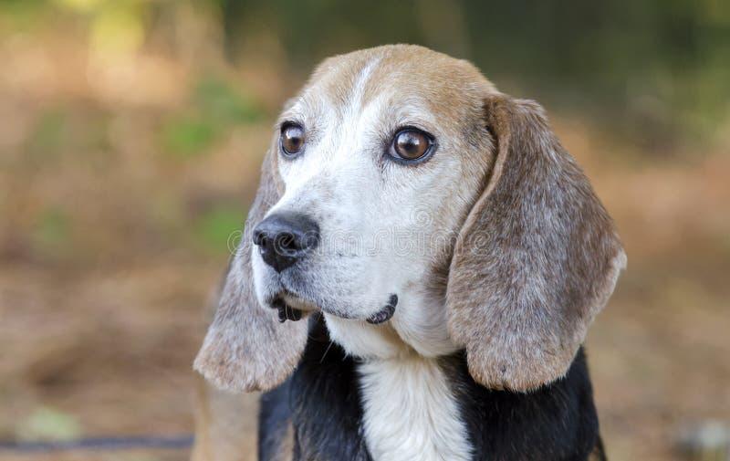 Senior Beagle rabbit hunting dog stock images