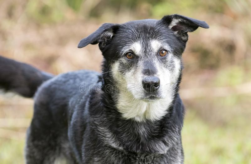 Senior Husky Retriever mixed breed dog. Older unneutered male black and tan Husky Lab mix mutt dog with graying muzzle, outdoors on leash. Dog rescue pet stock photography